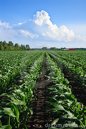 Free Rows Of Organic Corn Royalty Free Stock Photography - 16460107