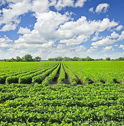 Free Rows Of Soy Plants In A Field Stock Image - 19998131