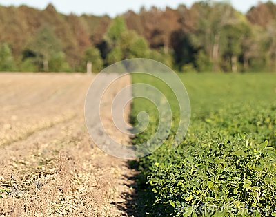 Rows of peanut crops