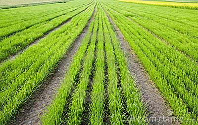 Rows of plants on field