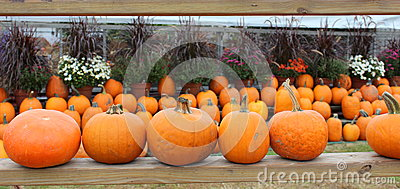 Rows of pumpkins and hardy mums