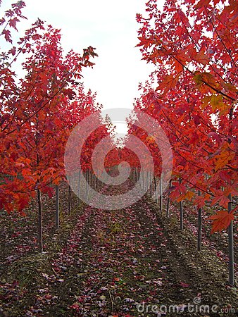 Rows of Red trees