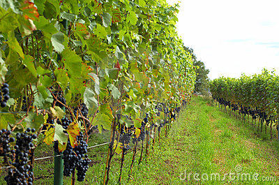 Rows of red wine grapes
