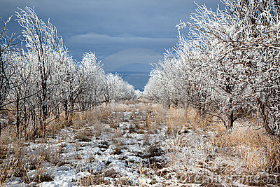 Rows of trees in winter