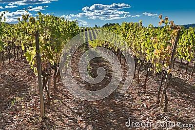 Rows of vine, Spain
