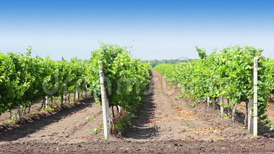 Rows of the vineyard. A sunny day. Blue sky. The camera moves near the green rows of vineyard