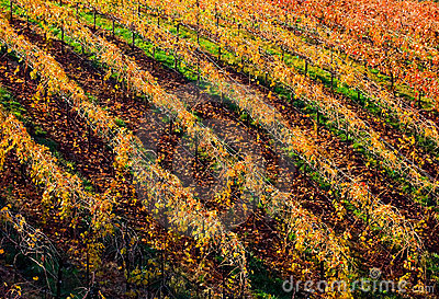 Rows of vineyard