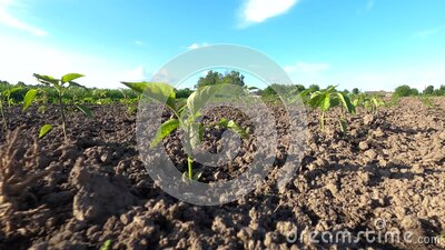 Rows of young and cultivated vegetable seedlings in spring. Sprout in garden. stock video footage