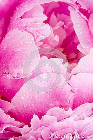 Różowy peoni