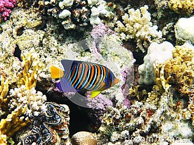 Royal angelfish and coral reef