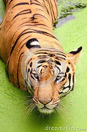 Free Royal Bengal Tiger Royalty Free Stock Photo - 15688135