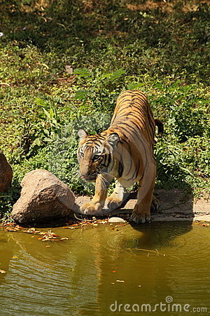 Royal Bengal Tiger drinks at water s edge