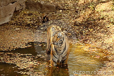 Royal Bengal Tiger in water
