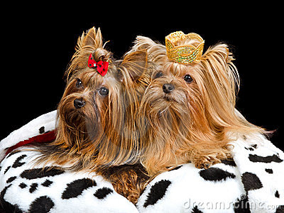 Royal dogs with crown and gown