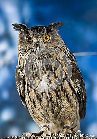 Free Royal Owl Stock Image - 8991961