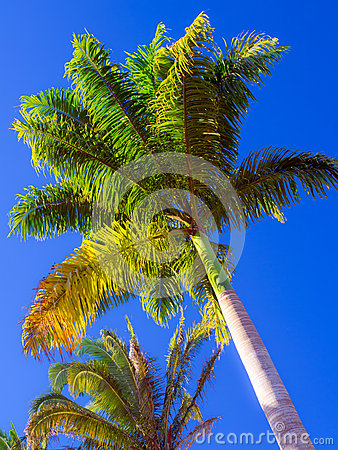 Free Royal Palm Royalty Free Stock Photos - 42686468