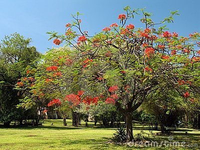Royal Poinciana in bloom - 1