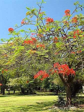 Royal Poinciana in bloom - 2