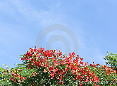 Royal Poinciana Tree 1
