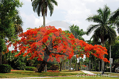 Royal Poinciana Tree