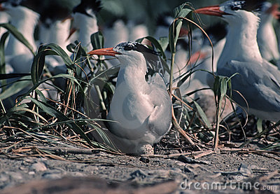 Royal tern on egg