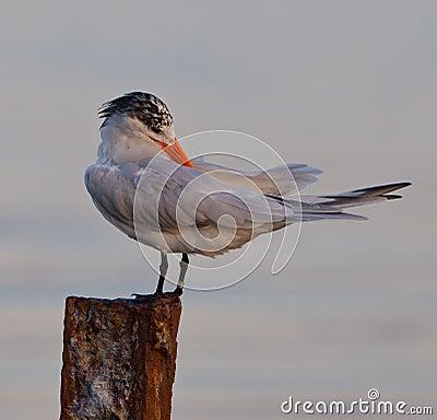 Royal Tern on pole