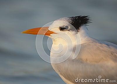 Royal Tern portrait