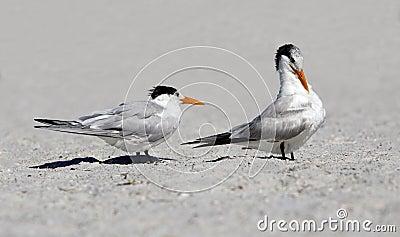 Royal Terns (Sterna maxima)