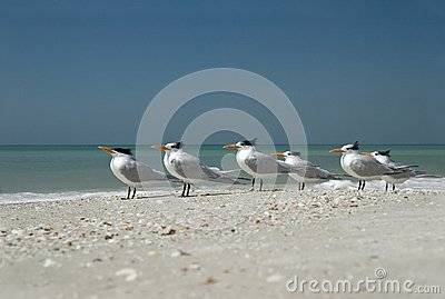 Royal Terns (Sterna maxima)