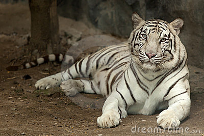 Royal white tiger