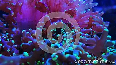 Roze gekleurde lange tentakelfungiidae, purper koraal stock videobeelden