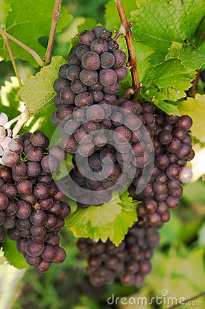 Roze Grapes