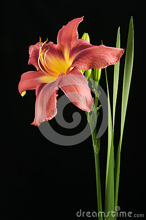 Roze lilly