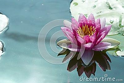 Roze lotusbloem