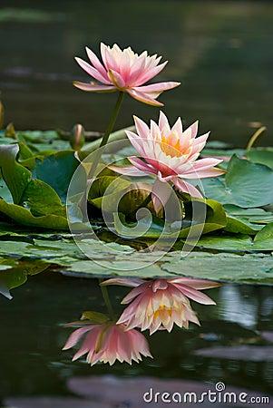 Roze lotusbloembloem