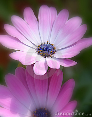 Roze/Purpere bloemen