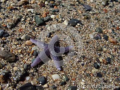 Rozgwiazda plażowa