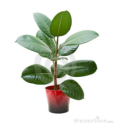 Free Rubber Plant (ficus) Royalty Free Stock Photos - 12859398