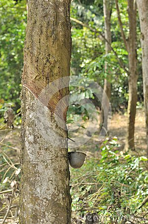 A rubber tree