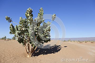 Rubberbush (Calotropis procera) in the desert.