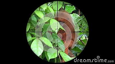 Rubicunda rojo de Presbytis del mono de la hoja visto en alcance del rifle del arma Caza de la fauna El escalfar en peligro, vuln almacen de video