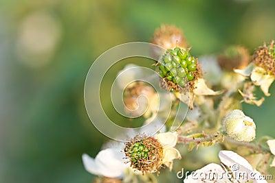 Rubus fruit