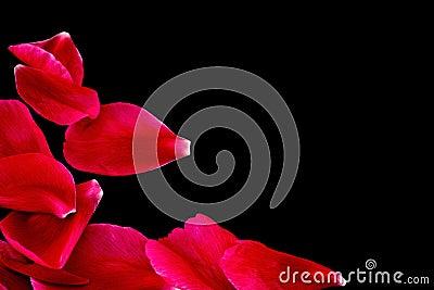 Ruby petals on black