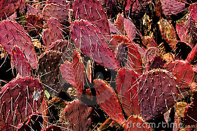 Ruby Red Prickly Pear Cactus