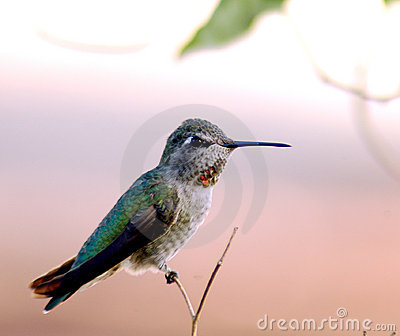 Ruby Throated Hummingbird 1