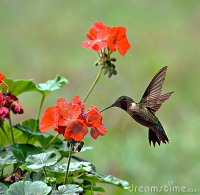 Free Ruby-throated Hummingbird Royalty Free Stock Photography - 3162977