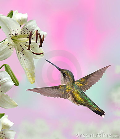 Free Ruby- Throated Hummingbird (Archilochus Colubris) Royalty Free Stock Image - 23596886