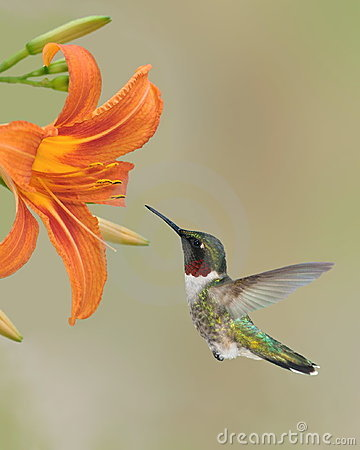 Free Ruby- Throated Hummingbird (Archilochus Colubris) Royalty Free Stock Image - 23616856