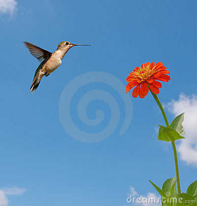 Ruby-throated Hummingbird feeding on Zinnia