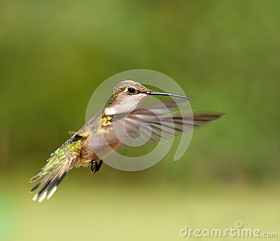 Ruby-throated Hummingbird female in flight